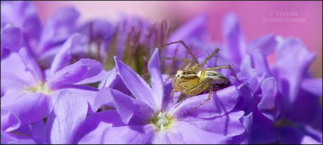 Striped Lynx Spider on Prairie Verbena Flowers 8553A