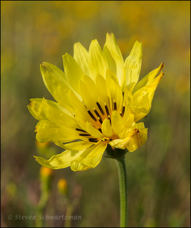 Texas Dandelion Flower Head by Butterweed Colony 3150A