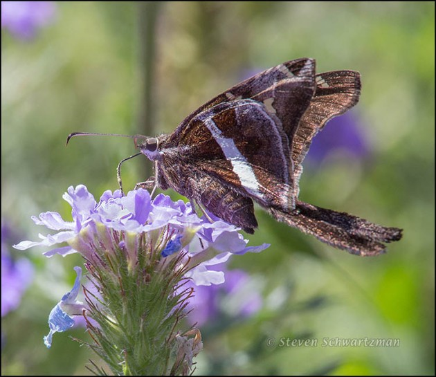 White-Striped Longtail Butterfly on Prairie Verbena Flowers 8211