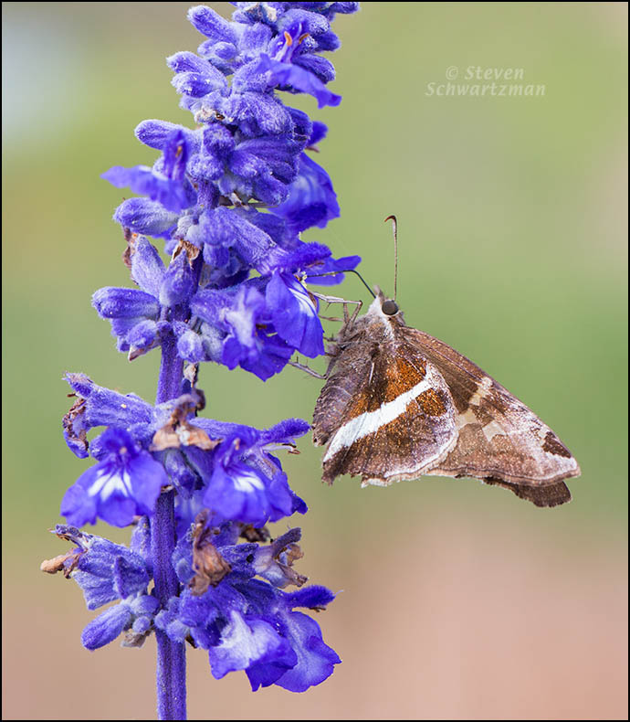 White-Striped Longtail on Mealy Blue Sage 4880