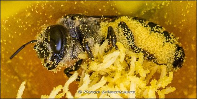 Dark Bee in Prickly Pear Cactus Flower 8002A