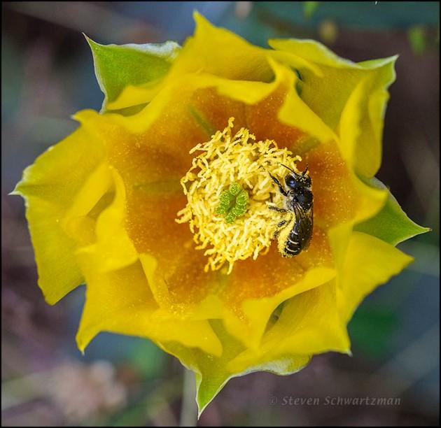 Dark Bee in Prickly Pear Cactus Flower 8006