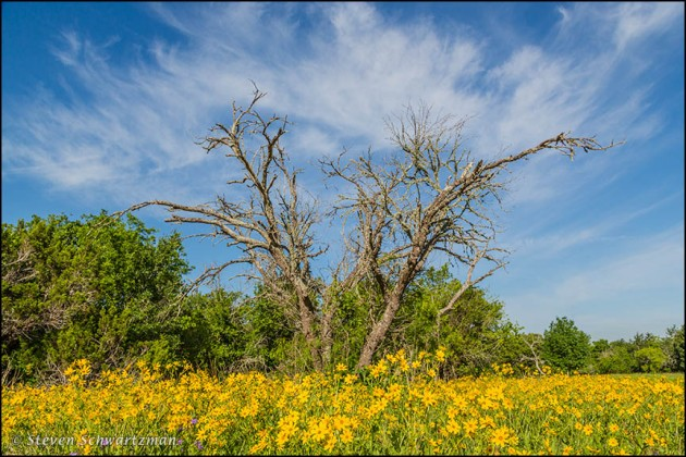 Engelmann Daisy Colony by Dead Tree with Wispy Clouds 3559
