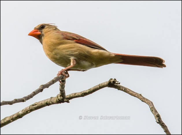Female Cardinal on Tree Branch 8927