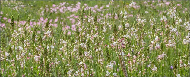 Gaura Colony by Pink Evening Primroses 9315