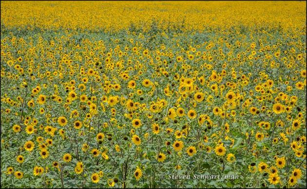 Huge Sunflower Colony 9091