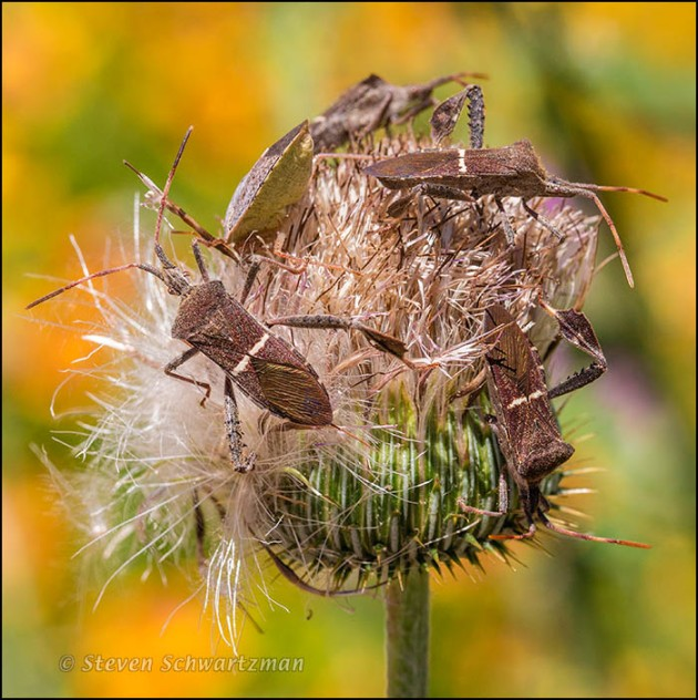 Leaffooted Bugs on Texas Thistle 8487