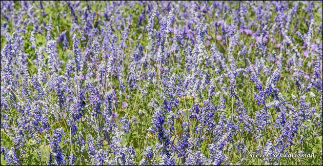Mealy Blue Sage Colony Densely Flowering 1067