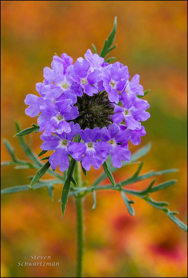 Prairie Verbena Flowers by Firewheel Colony 2530
