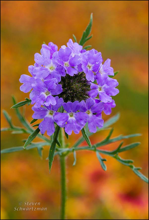 Prairie Verbena Flowers by Firewheel Colony 2530
