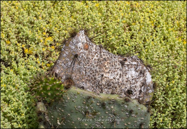Prickly Pear Cactus Mottled in Stonecrop Colony 4097