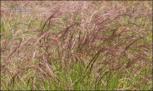 Purple Three-Awn Grass Seed Heads Blowing 6445