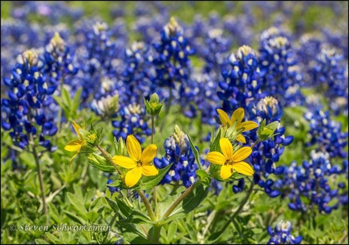 Texas Star Flowers in Bluebonnet Colony 8603