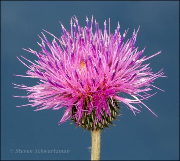 Texas Thistle Flower Head Against Sky 5903