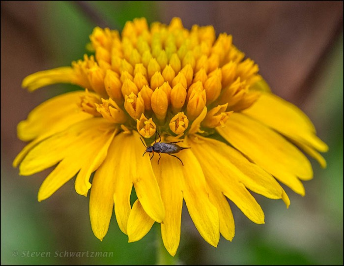 Tumbling Flower Beetle on Huisache Daisy 6606