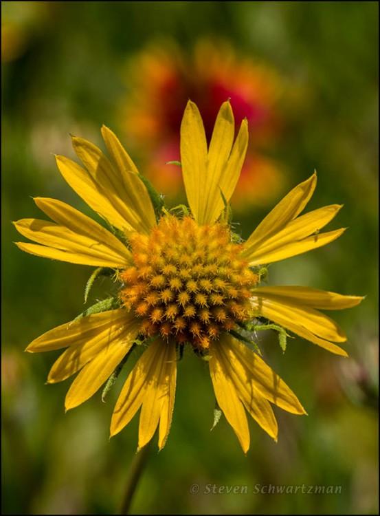 Yellow Gaillardia Flower Head 6845