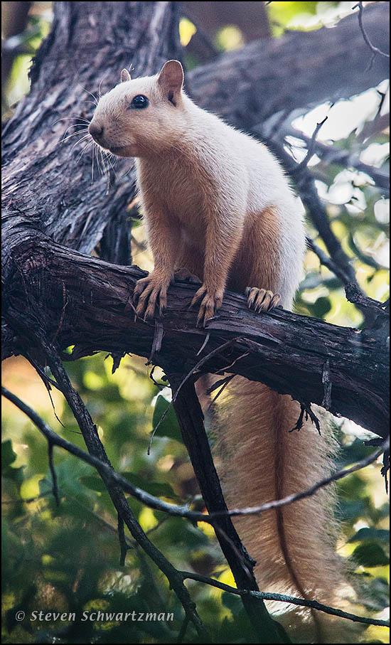 Albino Squirrel on Ashe Juniper Tree 2318A