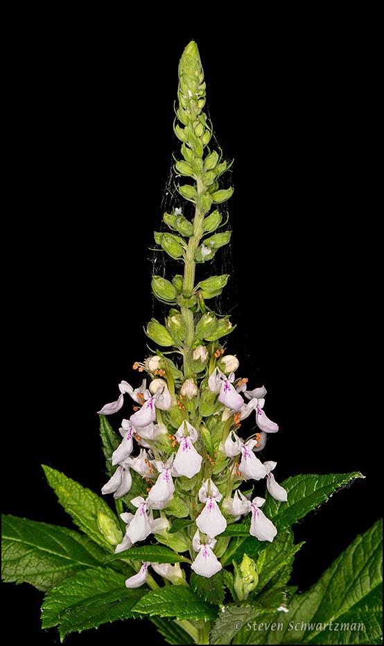 American Germander Flowering 8506