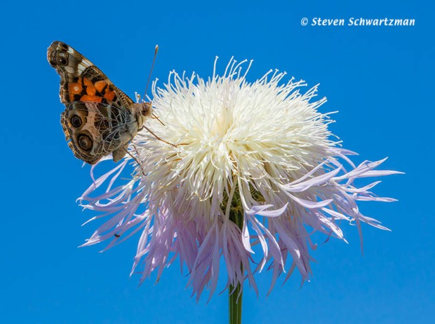 American Painted Lady Butterfly on Basket-Flower 0051