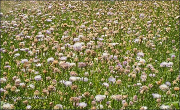 Basket-Flower Colony 4367