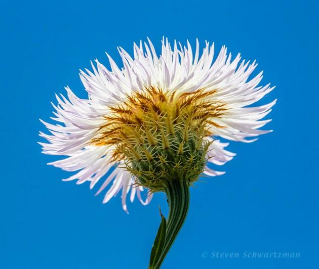 Basket-Flower Flower Head from Below 0057