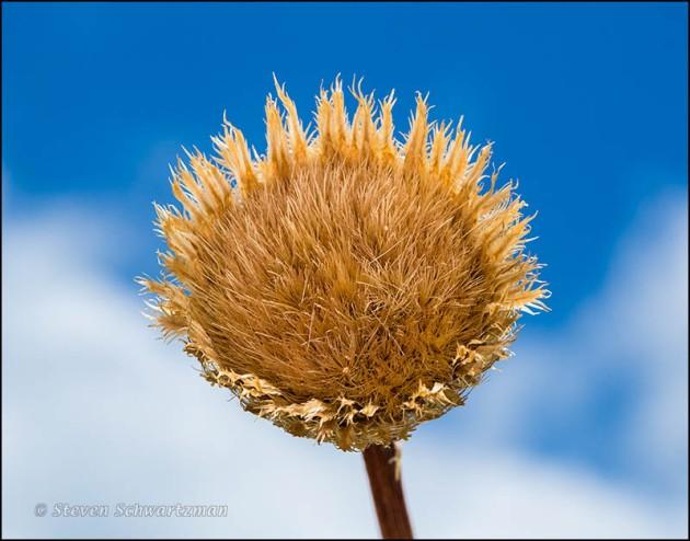 Basket-Flower Seed head Remains 4412