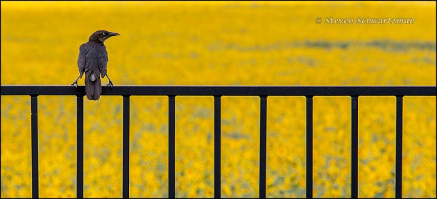 Bird on Metal Fence by Huge Sunflower Colony 8887