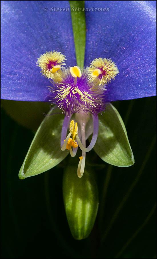 Center of a False Dayflower Flower 3048