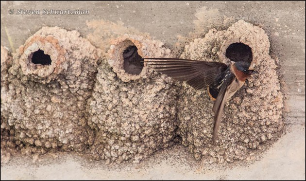 Cliff Swallow Flying Away from Nests 7665
