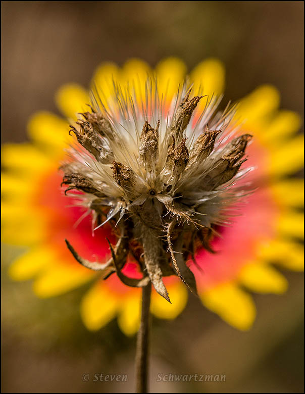 Gaillardia Seed Head by Flower Head 3969
