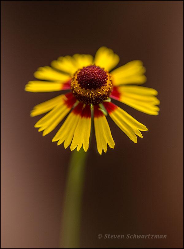 Helenium quadridentatum Flower Head 1844