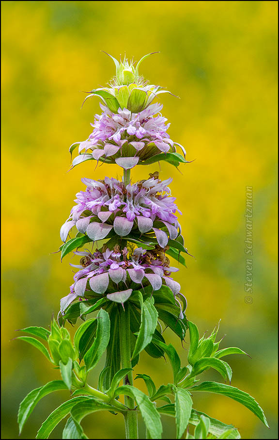 Horsemint Flowering by Dense Sunflower Colony 8981A