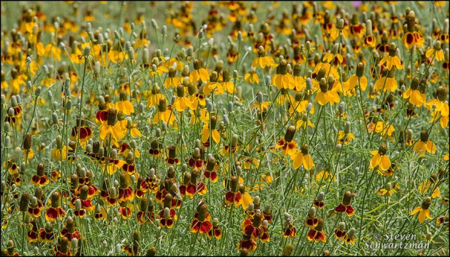 Mexican Hat Colony Flowering 6886