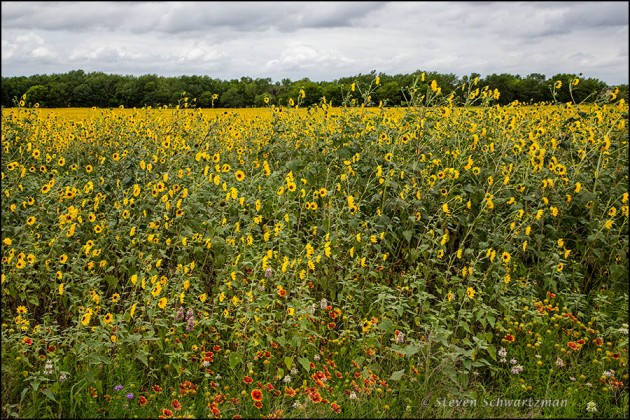 Other Wildflowers at Edge of Huge Sunflower Colony 9026