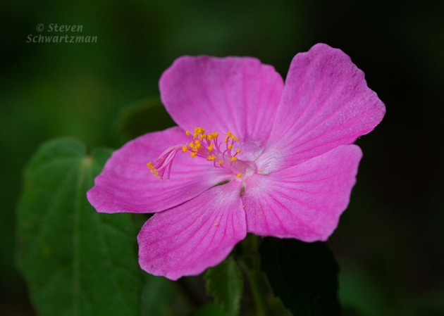 Pavonia Mallow Flower 4094