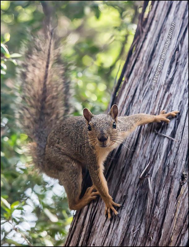 Squirrel Staring from Ashe Juniper 6077
