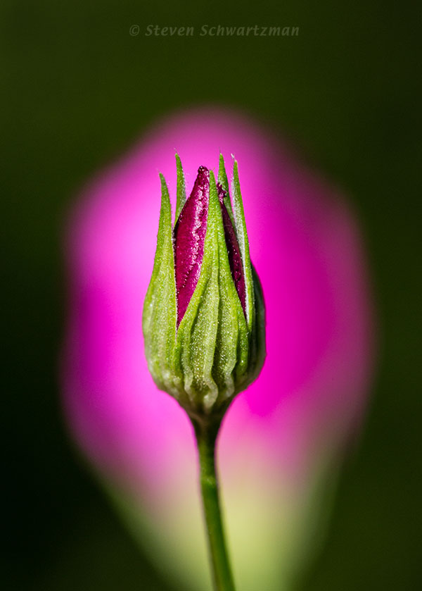 Standing Winecup Bud by Flower 3649