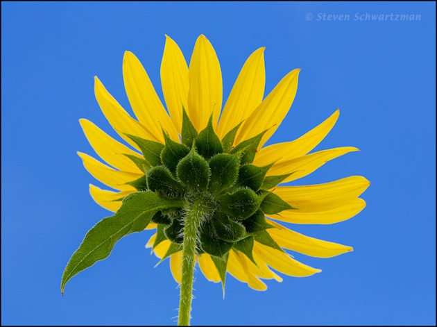 Sunflower Flower Head with Leaf Growing Out of Back 6557