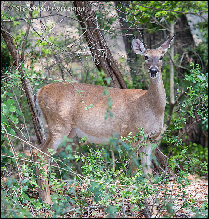 White-Tailed Deer Staring 6890