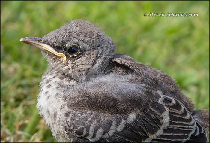 Baby Mockingbird 8413
