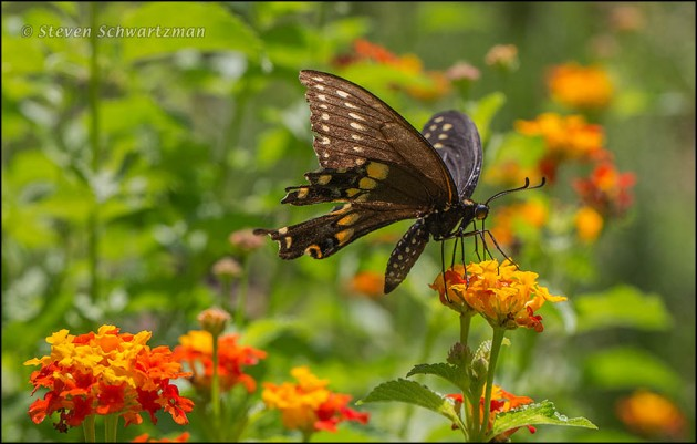 Black Swallowtail Butterfly on Texas Lantana Flowers 2446