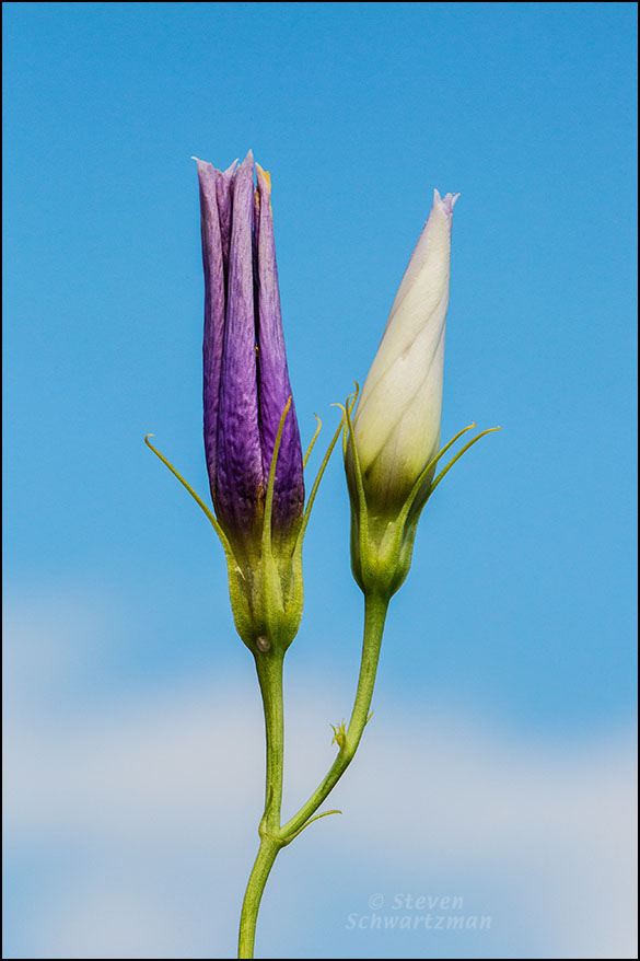 Bluebell Bud and Tightly Rolled Flower 8526