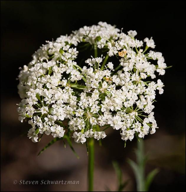 Daucosma laciniata Flowering 8070