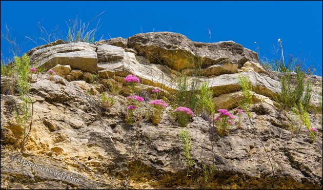 Mountain Pinks Flowering on Cliff 6035