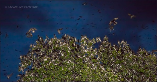Purple Martins Flocking to Live Oak Tree 9126