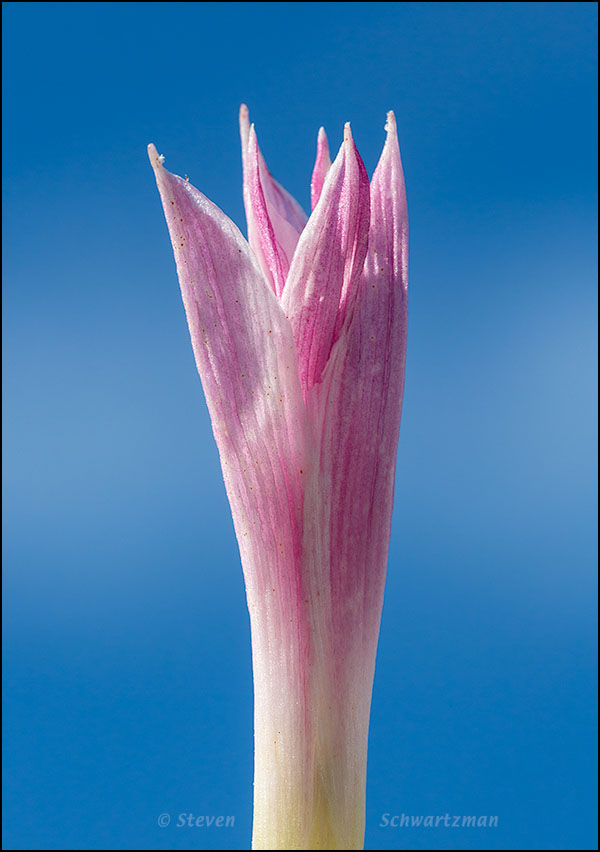 Rain-Lily Turning Pink 1165