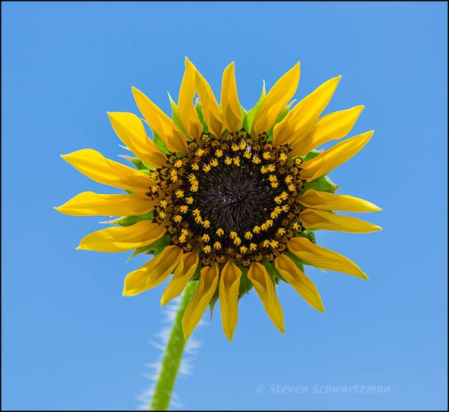 Sunflower Flower Head 6567