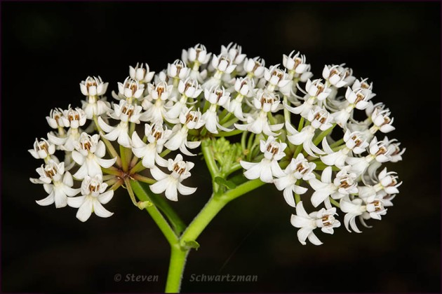 Texas Milkweed Flowers 5918