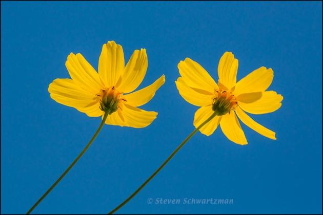 Two Navajo Tea Flowers from Below 5994