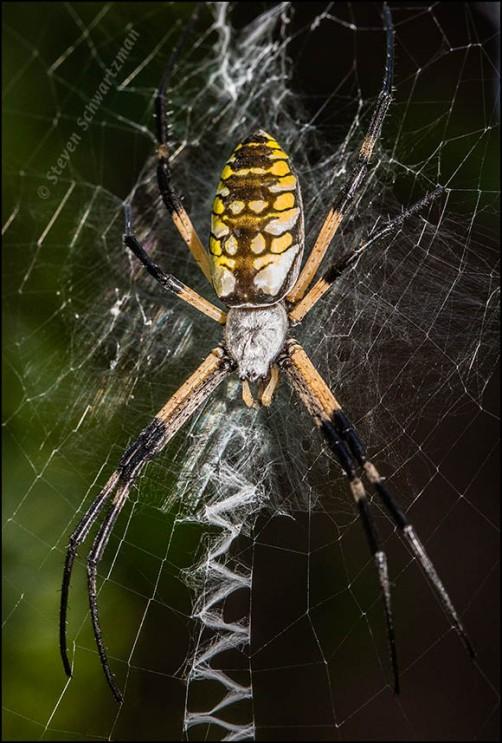 Argiope aurantia Orbweaver Spider 1894